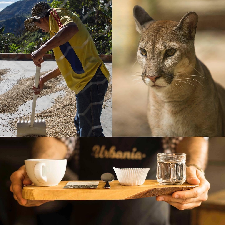 Saving the Jaguar and big felines one cup of coffee at the time / Preservando al Jaguar y otros grandes felinos una taza de café a la vez