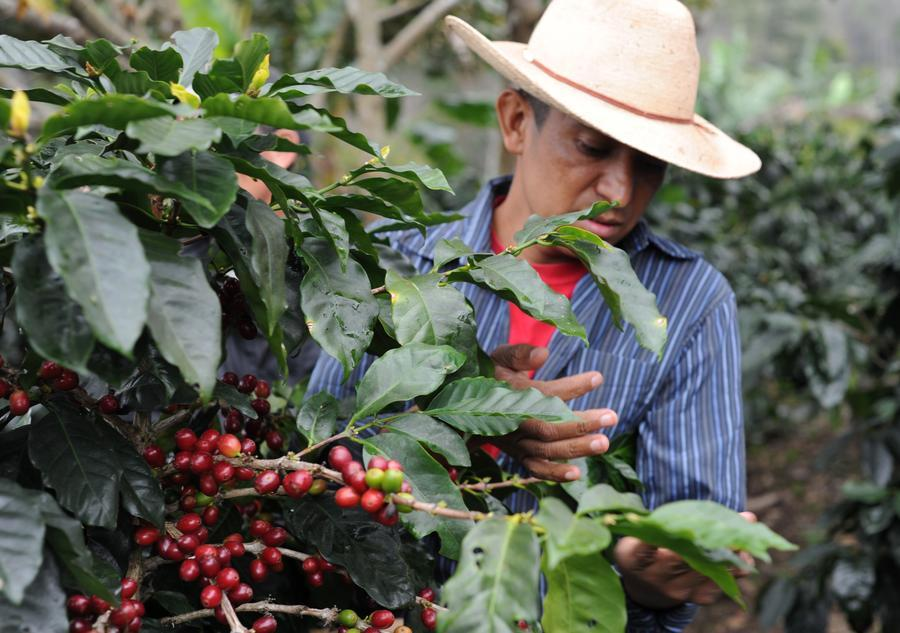 Honduran Coffee: Reinventing the Direct Trade Model