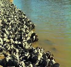 How Artificial Oyster Beds Save Coastal Areas
