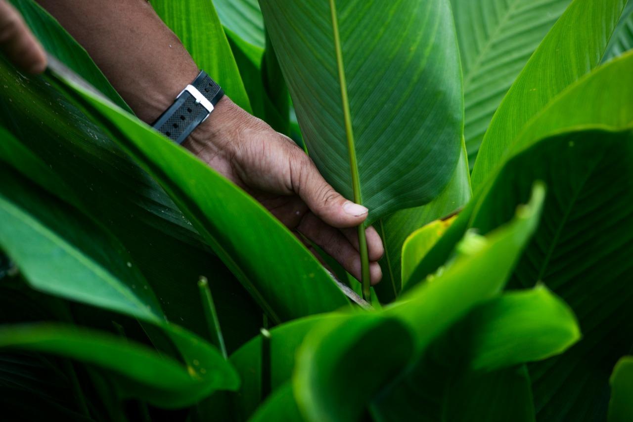 Platos Biodbioegradables hechos de Hojas de Árbol / Disposable biodegradable tableware made from leaves