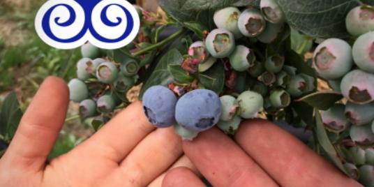 When You Eat Blueberries, Don't Eat Chemicals / Cuando comas arándanos, no comas químicos