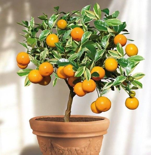 Organization as a Mandarin Tree