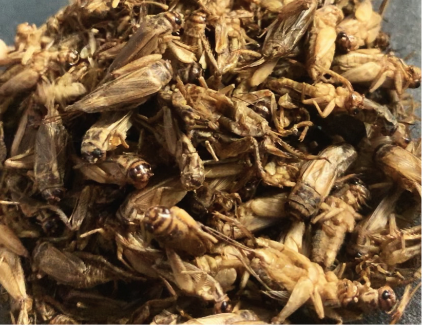 Crickets: Sustainable Food of the Future
